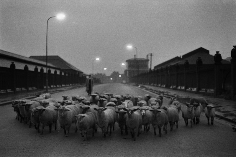 Sheep-going-to-the-Slaughter-Early-Morning-Near-the-Caledonian-Road-London-1965-resized-1024x684